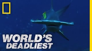 World's Deadliest - Hammerhead Sharks
