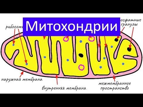 Строение клетки: митохондрии
