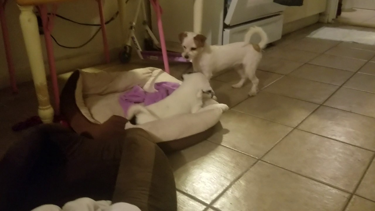 Jack Russell Terrier And Pomeranian Mix Playing Youtube