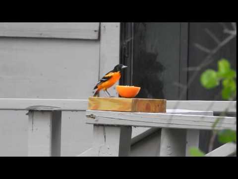 Baltimore Oriole feeding on an orange at Tara Wildlife