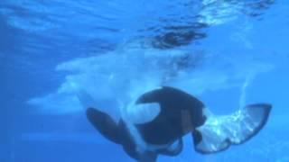 Tilikum Underwater Backdive   SeaWorld Orlando