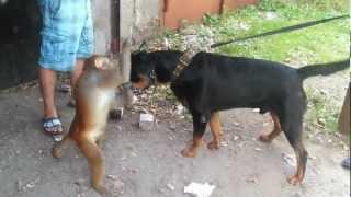 Собака и мартышка