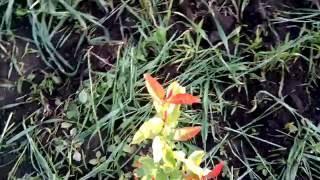 заболели хеномелисы.посадки смородины краса ЛЬВОВА ,юбилейная КОПАНЯ и Киевский велетень