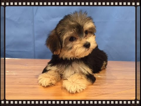 Cute Morkie puppies