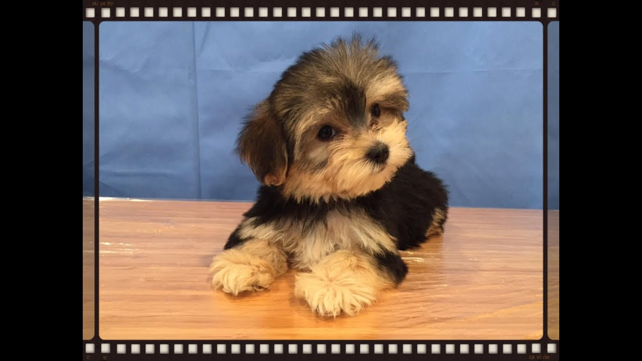 cute morkie puppies youtube