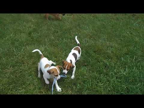 Beagle/Rat Terr  Pups 6-28-17