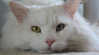 Белый мейн-кун – царь среди мейн-кунов