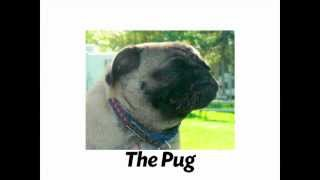 The Pug - Fun Facts From Weight Waggers