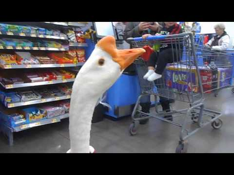 "Our pet goose ""George"", shops at Walmart in Hayward !!!"