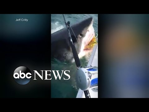 The Power Trip - Humongous great white shark visits fishing boat