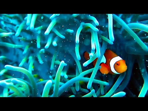 Clownfish On The GREAT BARRIER REEF!