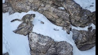 Snow Leopard Expedition in Spiti   Hippie in Hills thumbnail