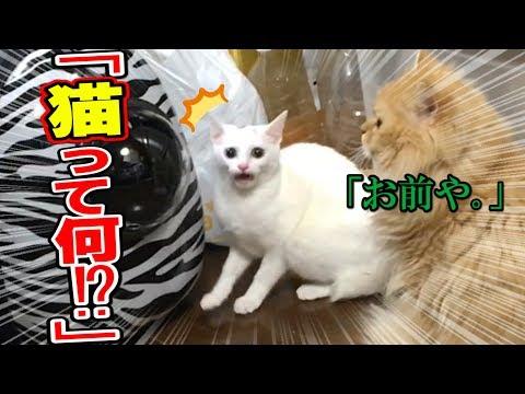 自分�人間�����る�猫����猫を見�����応��白��るwww