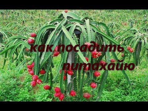Как посадить и вырастить Питахайю, Драконий фрукт.