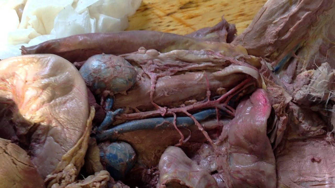 cat dissection circulatory system youtube