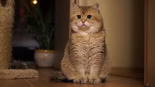 モフらずにはいられない!魅惑の瞳を持つロシアのアイドルキャット、ホシコさんはほっぺたも愛くるキュートなんだから