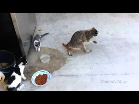 Raccoon Steals Food- Smooth Criminal 1 hour version!