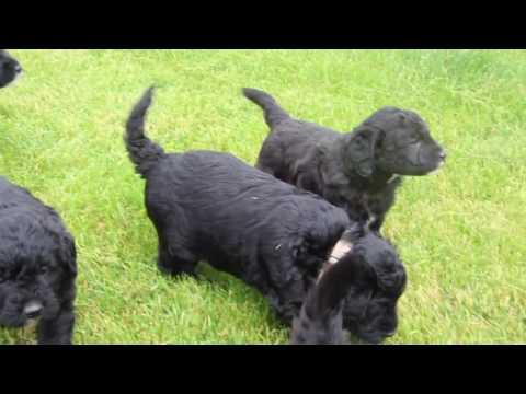 4 1/2 Week Old Labradoodle Pups
