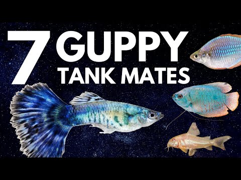 7 Most Popular Guppy Tank Mates You Need To Try