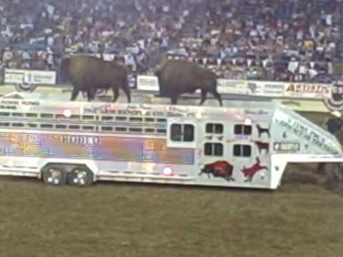 The One Arm Bandit Wrangling The Buffalo Reno Rodeo 2009