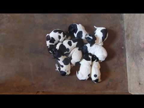 Как мы будем купировать хвостики - День 7 - Уход за щенками день за днем