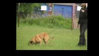 Малинуа (бельгийская овчарка).wmv(Нарезка видео о малинуа. Малотребовательность к условиям содержания, бесконечная работоспособность и..., 2013-01-14T08:35:24.000Z)