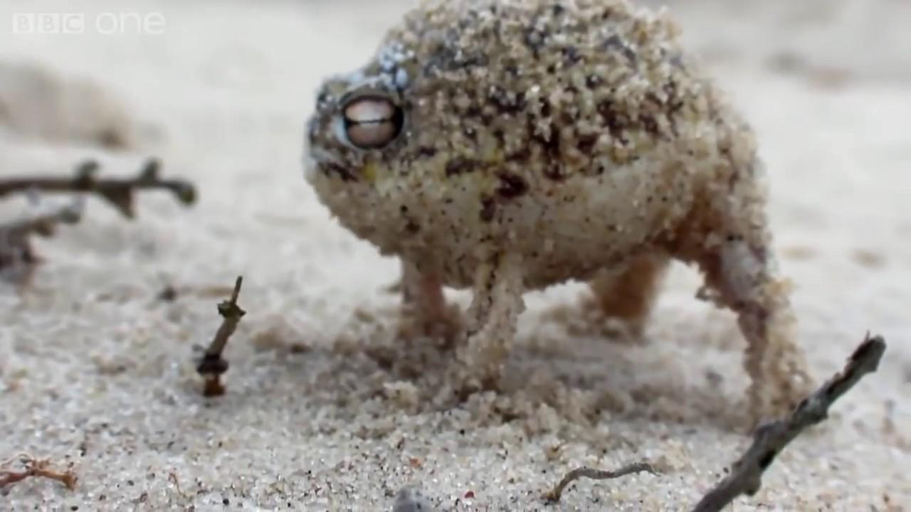 Desert Rain Frog Ye Boi Youtube