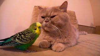 Волнистый попугай Кеша очень любит кота Марсика