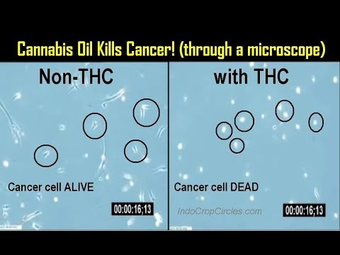 Cannabis Oil Kills Cancer: Science Explained