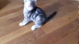 Британский котенок мрамор на серебре!