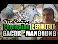Perkutut Biar Gacor Manggung Tips Penting  Mp3 - Mp4 Download