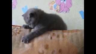 Котик шотландский страйт голубой - продается