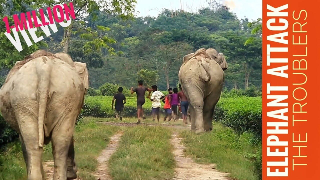 WHOLE HERD CAME FOR SUPPORT    ELEPHANT CHASE AWAY THE TROUBLE MAKERS