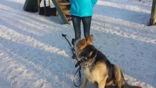 Дрессировка собак-восточно европейская овчарка Арчи 9 мес