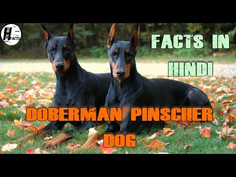 Doberman Pinscher Dog Facts | Hindi | Dog Facts | HINGLISH FACTS