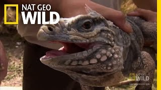 The Search for Iguana   Python Hunters