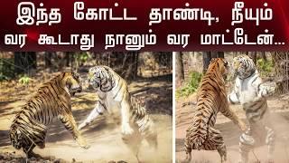 இரண்டு புலிகளுக்கு ஏரியா சண்டை..!   Tigers fight   Polimer News