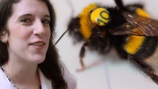 Tagging Bumblebees