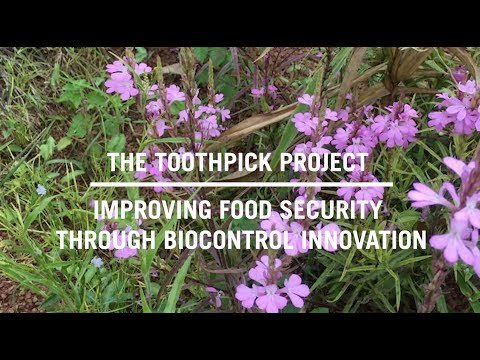 The Toothpick Project: Improving Food Security through Biocontrol Innovation