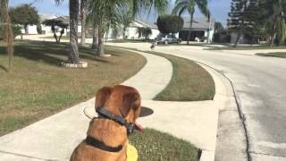 "2yr old Black Mouth Cur ""Louie"" Off Leash Obedience! Central Florida Dog Training!"