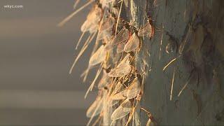 Millions of mayflies hatching along Ohio's Lake Erie shoreline