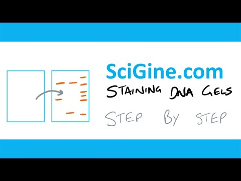 DNA Gel Electrophoresis Staining Explanation And Protocol