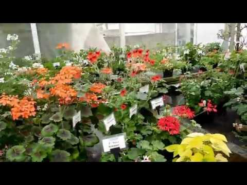 Visit To Fibrex. Part 4,Species Pelargoniums