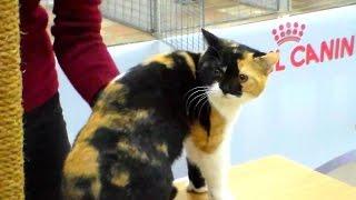 Британская Короткошерстная Кошка | Окрас Черный Черепаховый с Белым, ПОРОДЫ КОШЕК
