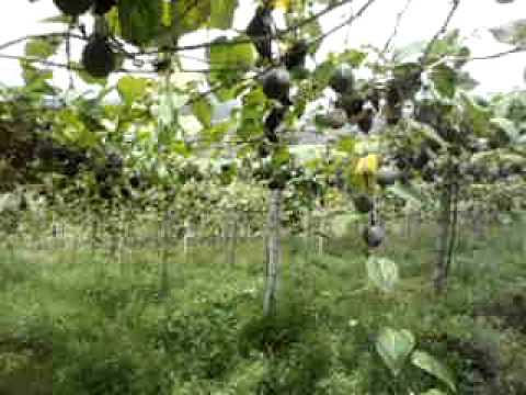Cultivo de granadilla youtube for Arboles de jardin fotos