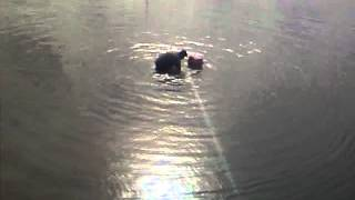 Cow in Water Pit!