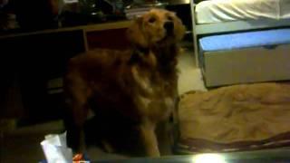 Golden Retriever Puppy Smelling Something Fishy