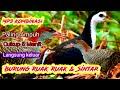 Suara Burung Wak Wak Betina Kombinasi Burung Sintar Terbaru   Mp3 - Mp4 Download