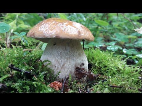 Белых грибов всё больше и больше! Грибы Подмосковья 2020 года Июль.