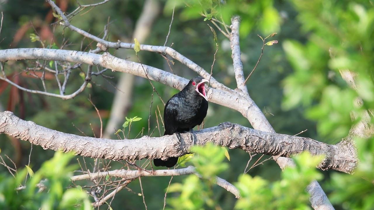 Asian Koel (male) call 噪鵑(雄)叫鳴 @ Hong Kong 香港 2019.4.3 - YouTube